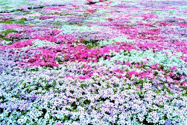 関東の芝桜なら穴場スポットでゆっくりデート♪おすすめ3選