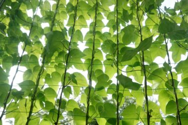グリーンカーテンなら虫がつきにくい育てやすいキレイな植物から始めてみよう